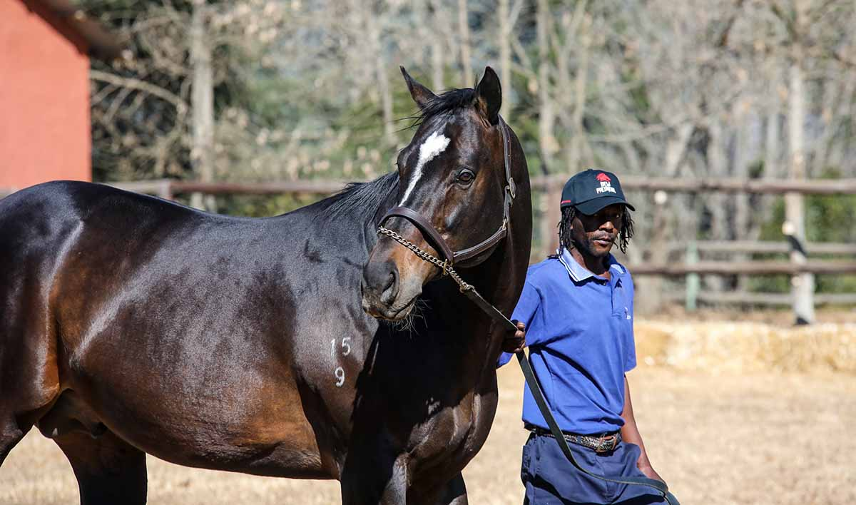 stallion6